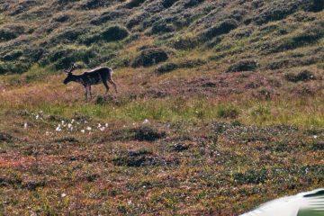 Van Smørfjord naar Skaidi rendier achter de tent