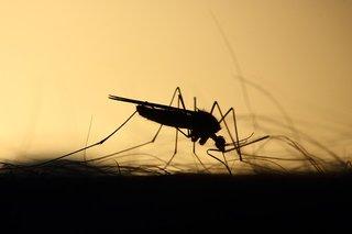 Van Alta naar Masi muggen