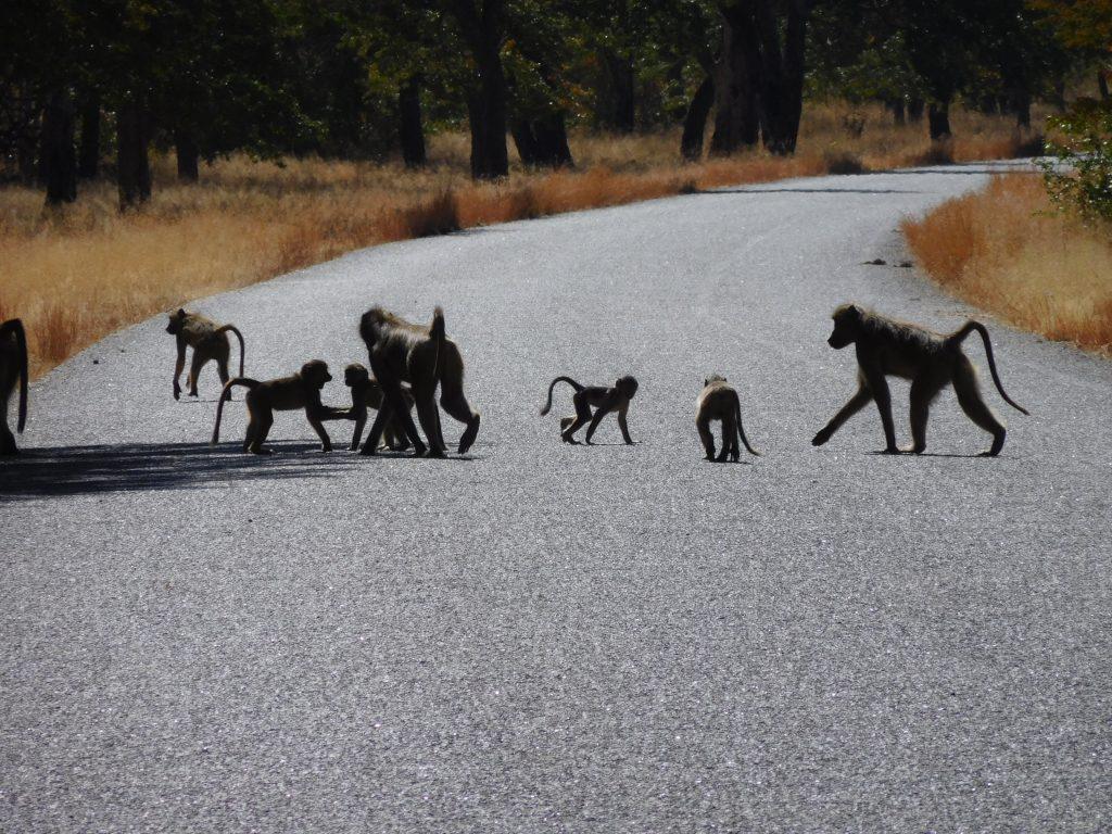 Olifanten op de weg - bavianen in Zimbabwe