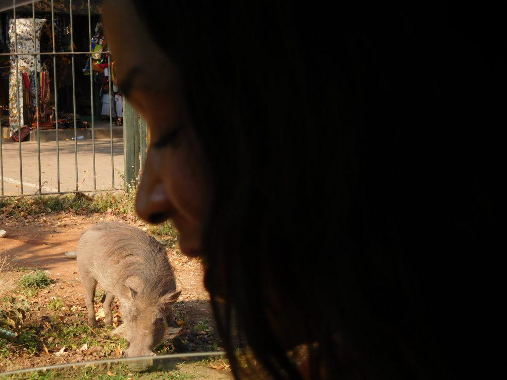 Olifanten op de weg - wrattenzwijn in Zimbabwe