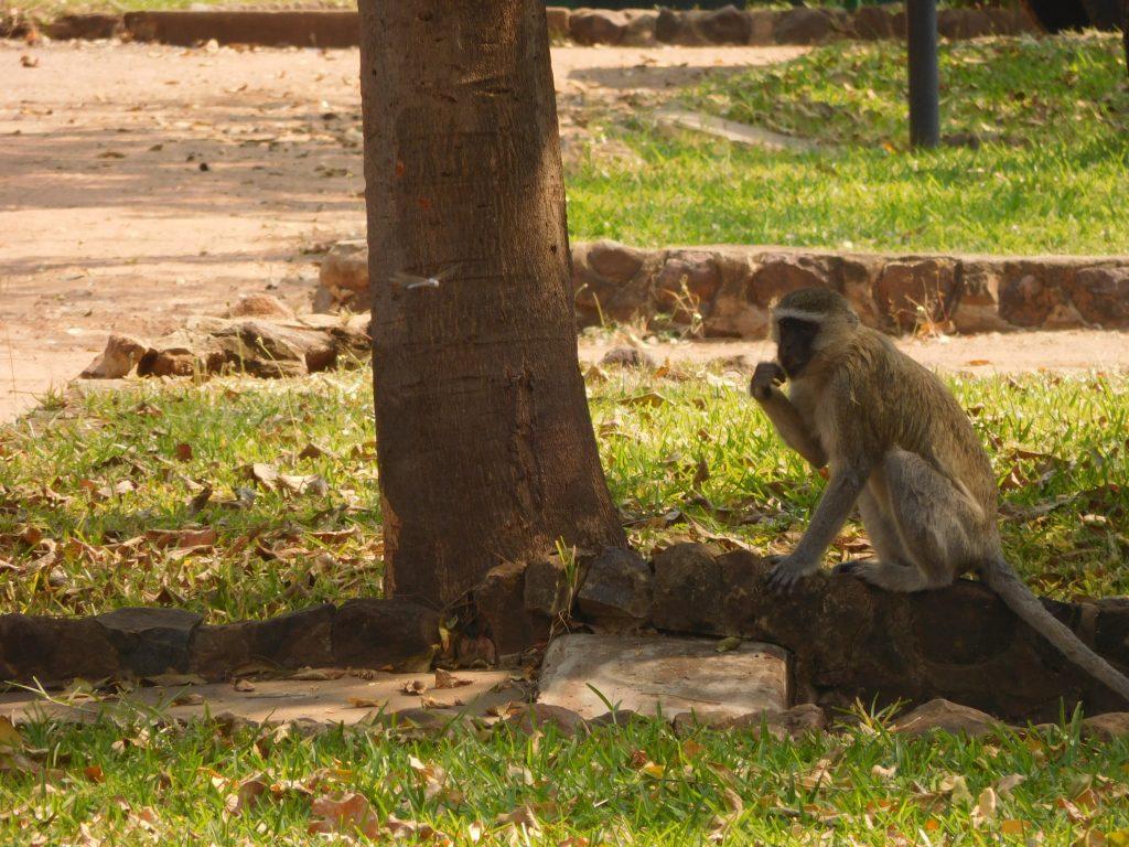 Parel van Afrika - aap op de camping