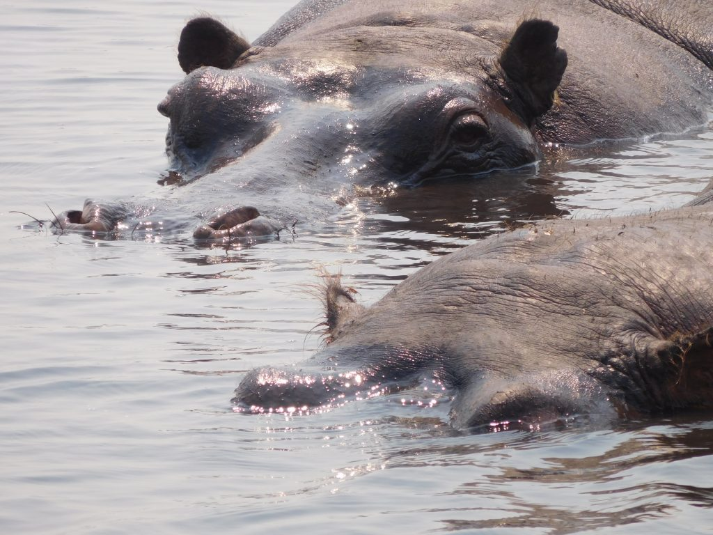 Parel van Afrika - Nijlpaarden op safari