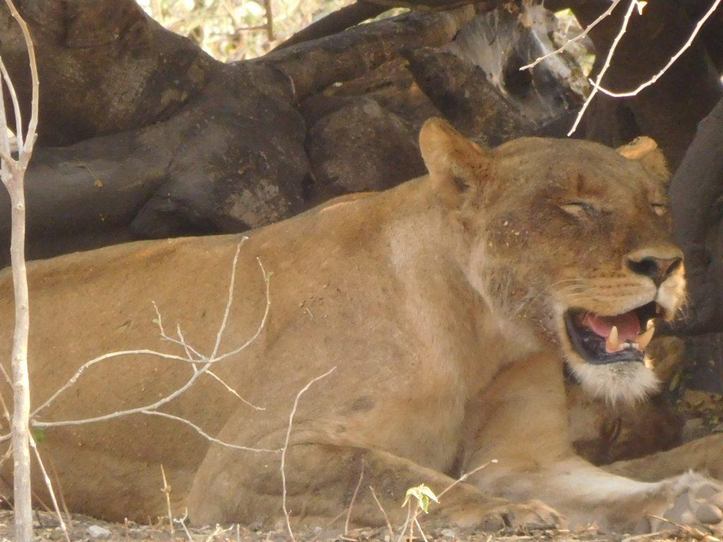 Parel van Afrika - leeuw op safari