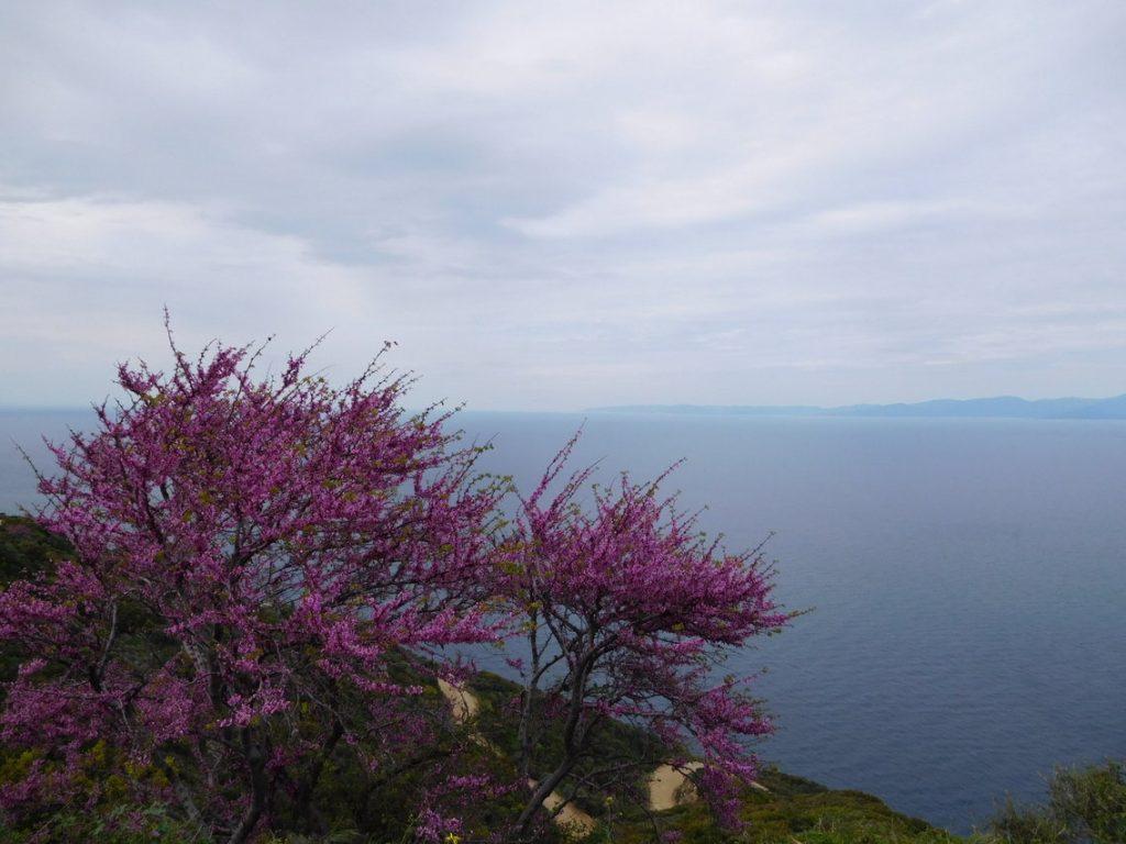 Wandelen tussen paarse bomen op Athos