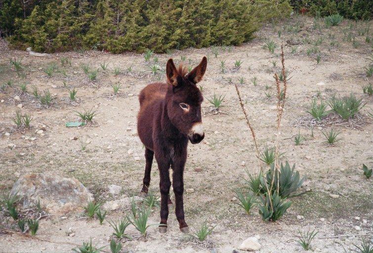 Van Dipkarpaz naar Zafer Burnu - Wilde ezel