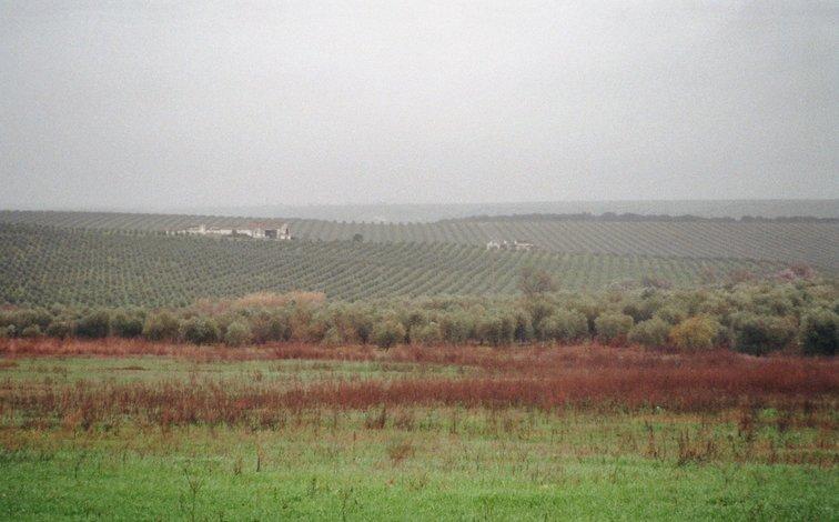 Olijven in Portugal