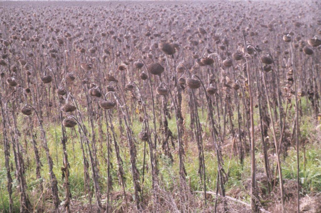Het gevaar op een fietsreis - Verveling - Verlepte zonnebloemen
