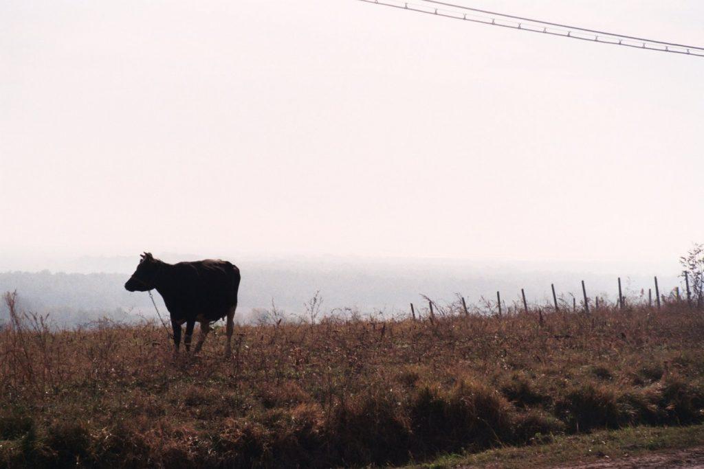 Zwarte koe, Moldavië