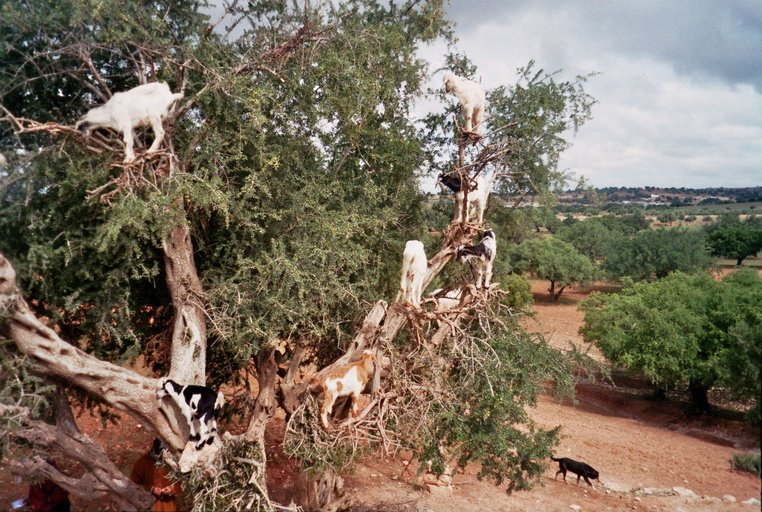 Van Sidi Moktar naar Essaouira - Geiten in de boom