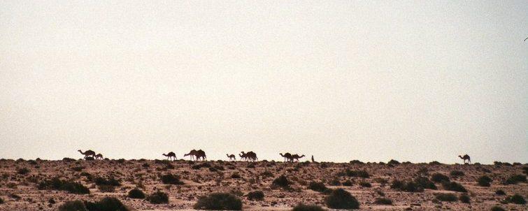 Van Laayoune naar Boujdour - Rugwind - kamelen in Sahara