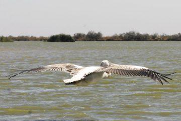 Saint-Louis - Vogelsafari - vliegende pelikaan