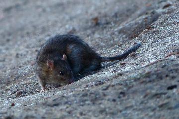 Van Banfora naar Toussiana - Max - rat