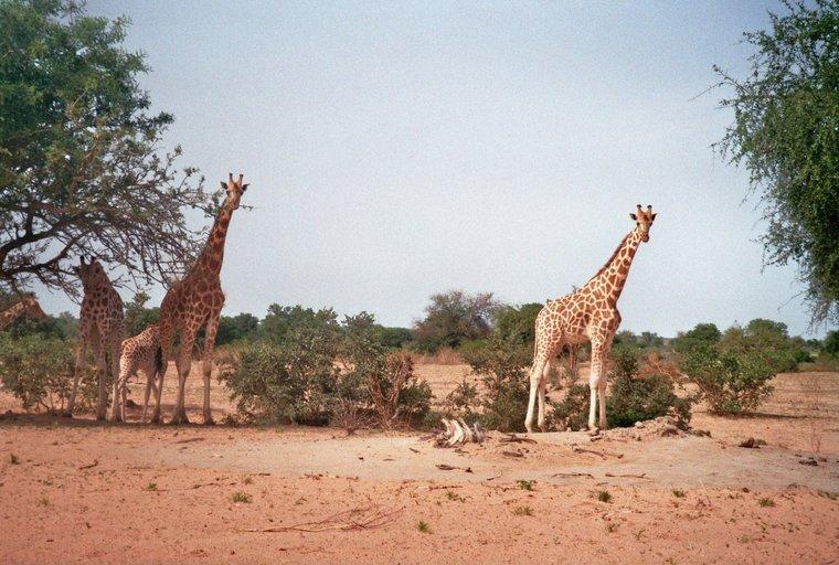 Giraffen van dichtbij - Kouré