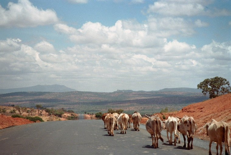 Runderen in Ethiopië