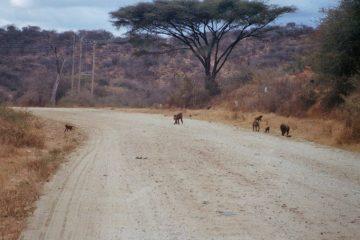 Van Marsabit naar Laisamis - Rode gestaltes - bavianen op de weg