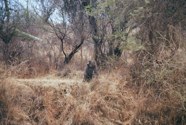 Baviaan langs de A2 in Kenia