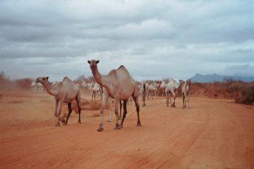 Van Juja naar Nairobi - De A2 - kamelen