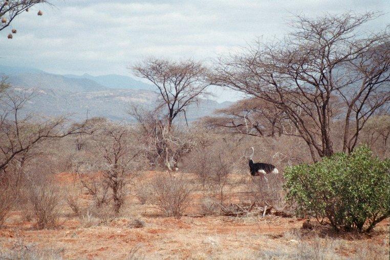 Struisvogel langs de A2 in Kenia