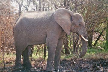 Van Victoria Falls naar Kasane - Olifanten