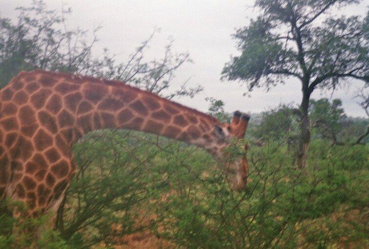 Giraf in Kruger Park