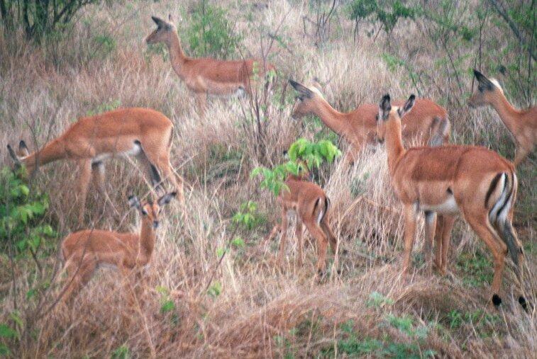 Antilopen in Krugerpark