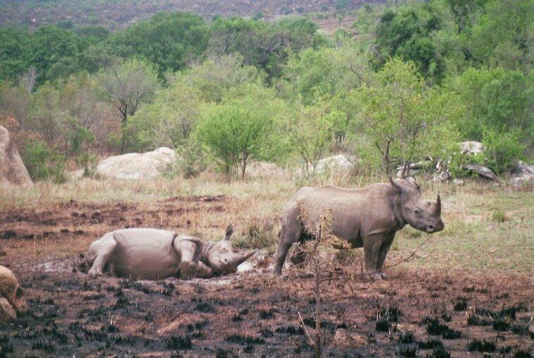Neushoorns in Kruger Park