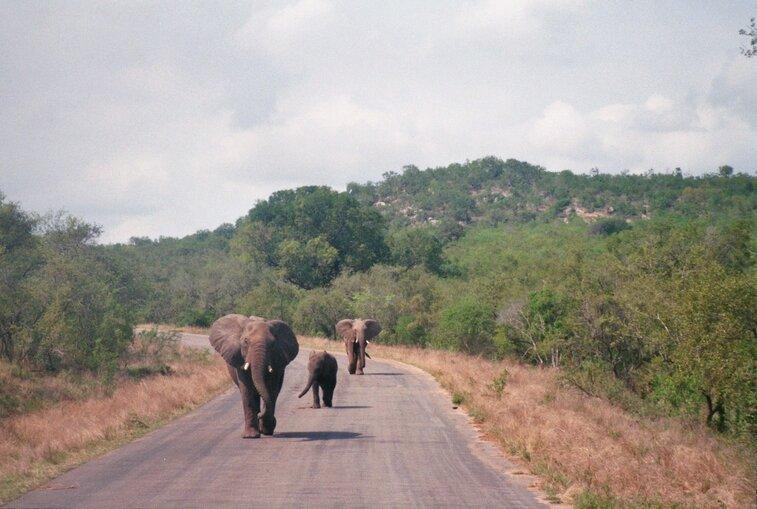 Olifanten in Kruger park