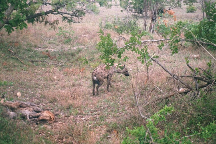 Nest hyena's in Kruger Park