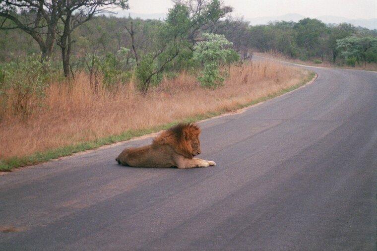 Malelane - De leeuw